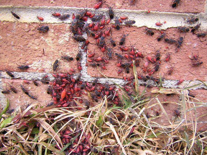 boxelder-bugs