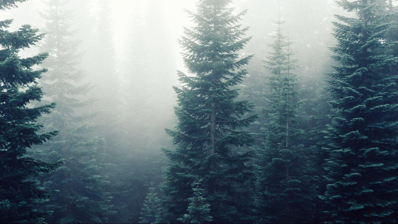 forest-trees-fog-foggy